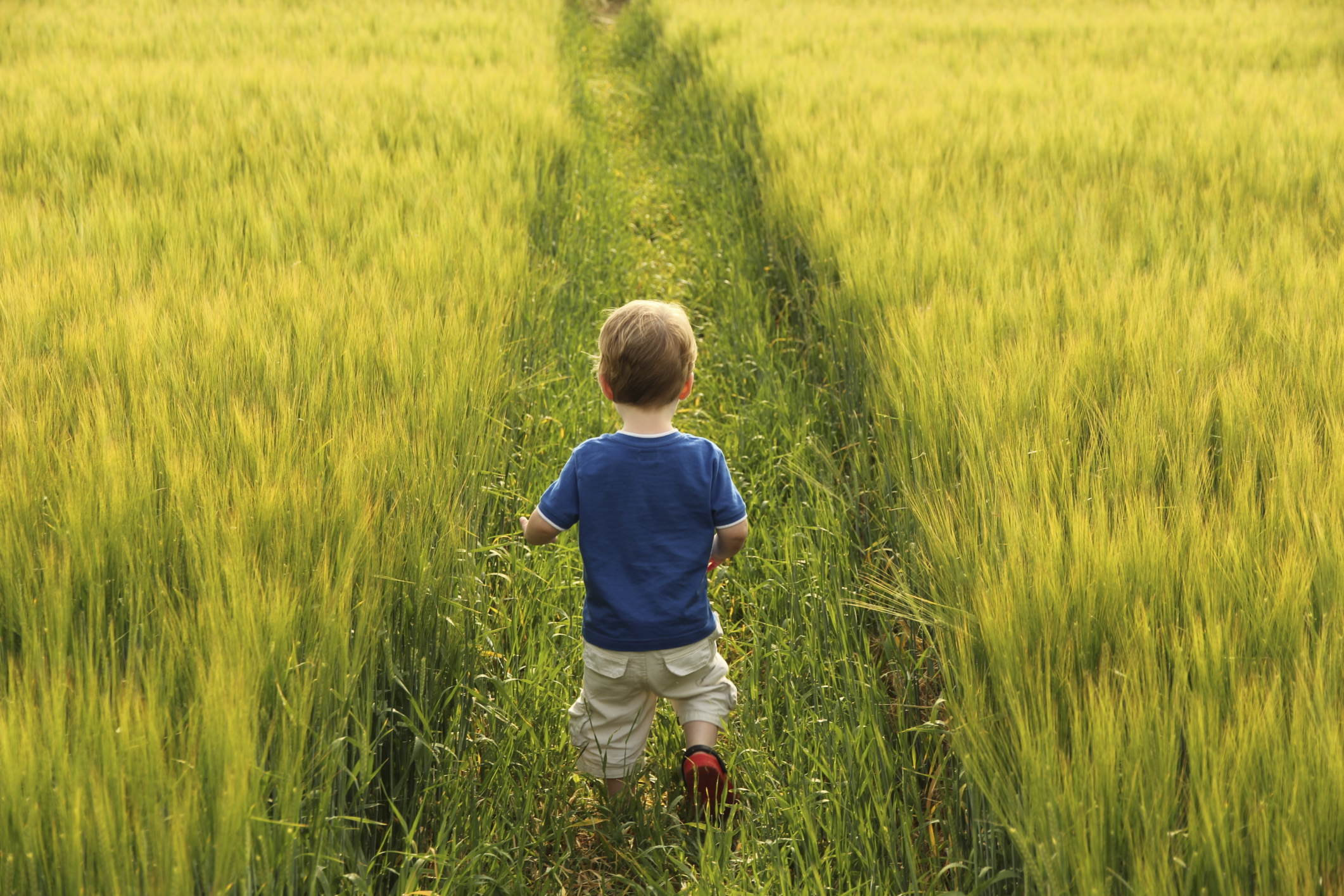 Small boy walking through barley field